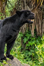 Preview iPhone wallpaper Black panther, teeth, wildlife