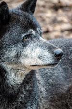 Lobo negro mira hacia atras