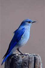 Preview iPhone wallpaper Blue bird, stump