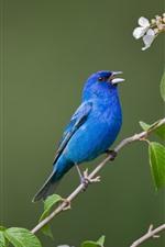 Pássaro azul, flores brancas