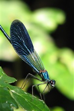 Preview iPhone wallpaper Blue dragonfly, green leaves