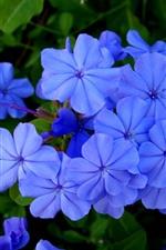 Blue little flowers, petals