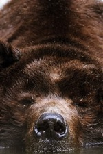 Preview iPhone wallpaper Brown bear bath in water, front view