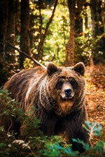 Brown bear in forest, sunshine