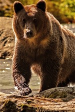 Preview iPhone wallpaper Brown bear, water, front view