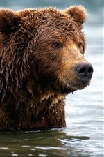 Urso pardo, molhado, água