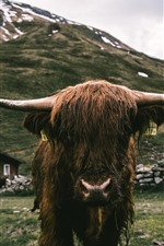 Vista frontal del toro, cuernos, mojado.
