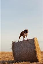 Preview iPhone wallpaper Bulldog, hay
