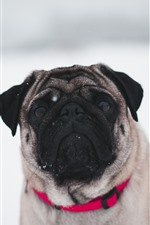 Preview iPhone wallpaper Bulldog, snow, winter, white background