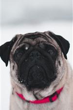 Vorschau des iPhone Hintergrundbilder Bulldogge, Schnee, Winter, weißer Hintergrund