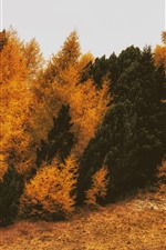 Conifer, trees, autumn