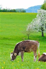 Preview iPhone wallpaper Cow, green grass, flowers, spring