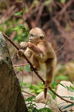 Preview iPhone wallpaper Cute golden monkey cub