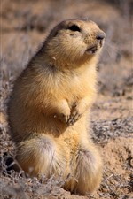 Preview iPhone wallpaper Cute gopher, look, ground
