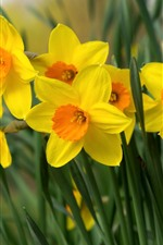 Preview iPhone wallpaper Daffodils, yellow flowers, petals