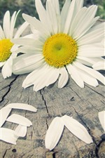 Preview iPhone wallpaper Daisies, white flowers, stump