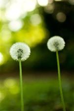 Dandelion, green background