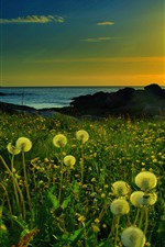 Dandelion, sea, sunset