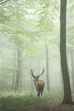 Deer, forest, fog, morning