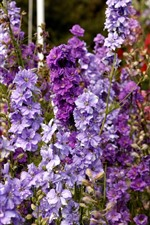 Delphinium purple flowers