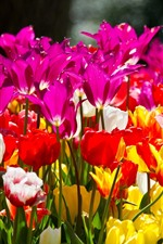 Preview iPhone wallpaper Different colors tulips, pink, yellow, white, red