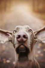 Perro, cara, orejas grandes, ojos, nariz