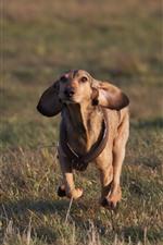 Dog running, pet