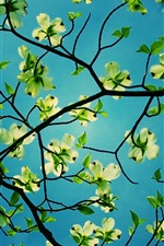 Preview iPhone wallpaper Flowers, dogwood, green leaves, twigs