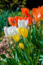 Preview iPhone wallpaper Flowers field, white, orange, yellow tulips
