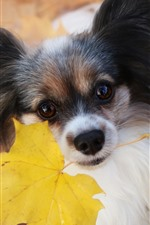 Preview iPhone wallpaper Furry dog, yellow maple leaf