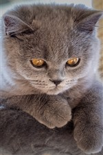 Preview iPhone wallpaper Furry gray kitten, yellow eyes, look