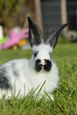 Furry rabbit, green grass