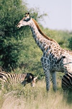 Preview iPhone wallpaper Giraffe and zebra, bushes, Africa