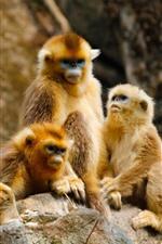 미리보기 iPhone 배경 화면 황금 원숭이 가족, 숲