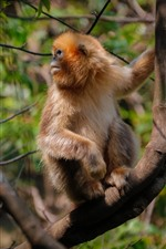 Preview iPhone wallpaper Golden monkey look back, tree