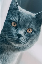 Preview iPhone wallpaper Gray cat look at you, shy