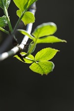 미리보기 iPhone 배경 화면 녹색 잎, 나뭇가지, 봄
