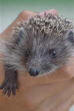 Preview iPhone wallpaper Hedgehog, hand