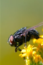 Insect, fly, yellow flowers