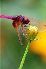Preview iPhone wallpaper Insect, red dragonfly, yellow flower