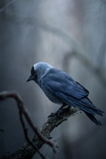 Preview iPhone wallpaper Jackdaw, bird, twigs