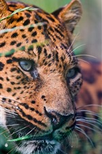 Preview iPhone wallpaper Leopard, face, grass, spotted, wildlife
