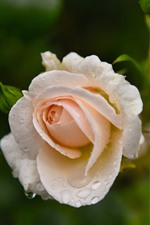 Light pink rose, water droplets, hazy