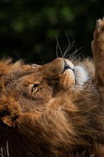 Preview iPhone wallpaper Lion rest, mane, paw