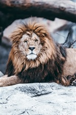 Preview iPhone wallpaper Lion, rocks, zoo