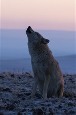 Preview iPhone wallpaper Lonely wolf, dusk