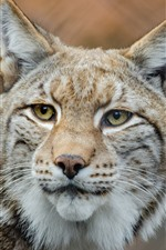 Preview iPhone wallpaper Lynx look, yellow eyes, face, ears