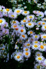 Preview iPhone wallpaper Many aster flowers