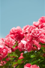 Preview iPhone wallpaper Many pink roses, sky, spring