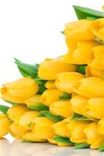 Many yellow tulips, flowers, white background